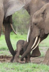Female elephant & calf