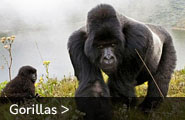 Male Silverback Mountain Gorilla & family