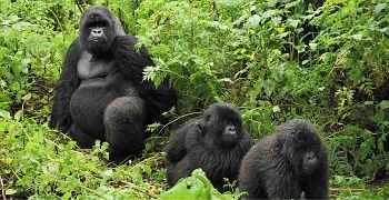 Pregnant female mountain gorilla and infants