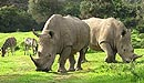 Rhinos - South Africa coach tours