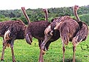 Oudtshoorn - Ostrich capital - South Africa coach tours