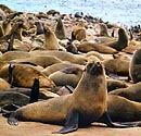 Seal Island - Hout Bay tours to Seal Island marine tour