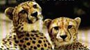 Cheetah pair - South Africa coach tour