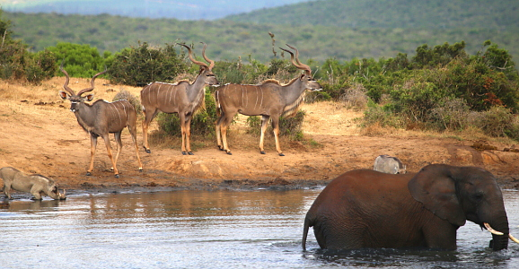 Addo Elephant Park - water hole with Kudu and Warthogs