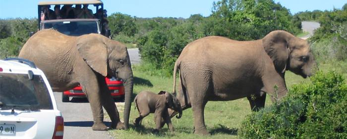 African wildlife Addo Elephant National Park