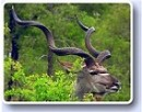 Kudu Horns are sort by trophy hunters