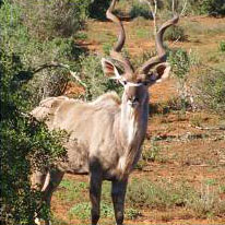 Kudu males have the most attractive horns