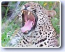 The illusive Leopard - one of Africa's Big 5