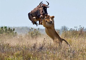 kruger national park safari   self drive or guided coach tours