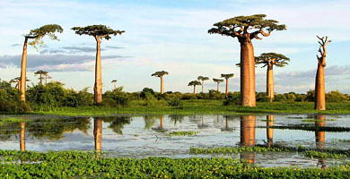 Madagascar Holiday Island - Baobabs at Morondava