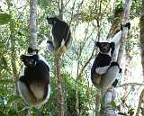 Indri Indri the largest Lemur in Perinet Forest