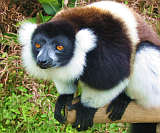 Ruffed Lemur - Selftours Madagascar vacations