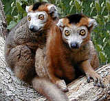 Crowned Lemurs are endemic to these northern forests of Madagascar